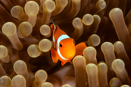 symbiosis: Western Pacific Clownfish in its home anemone Stock Photo