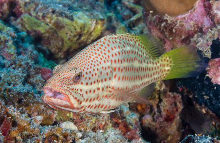 epinephelus: Grouper on a coral reef in the tropics Stock Photo