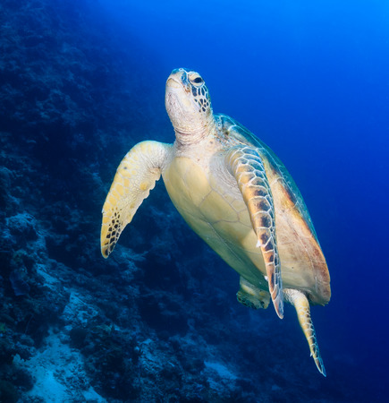 Green Turtle swimming next to a reef slope