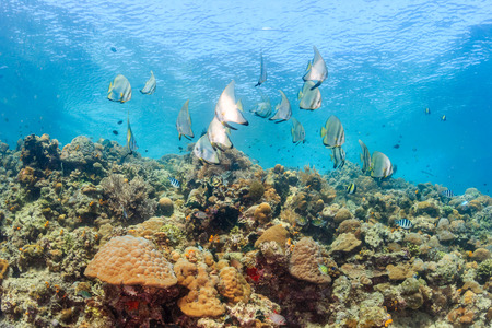 platax: Shoal of batfish and other reef fish on a shallow coral reef