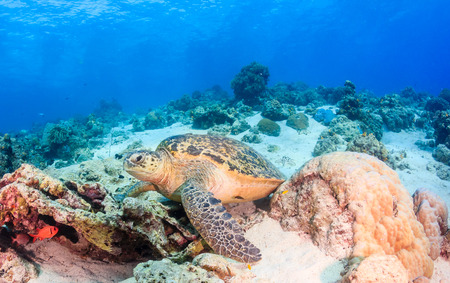 interraction: Green Turtle on a sandy coral reef Stock Photo