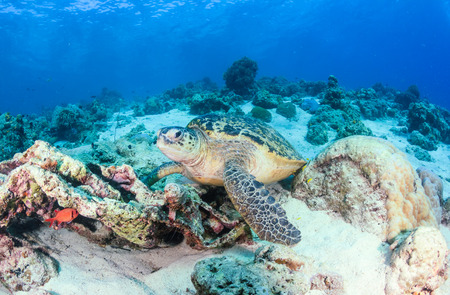 interraction: Green Turtle on a coral reef