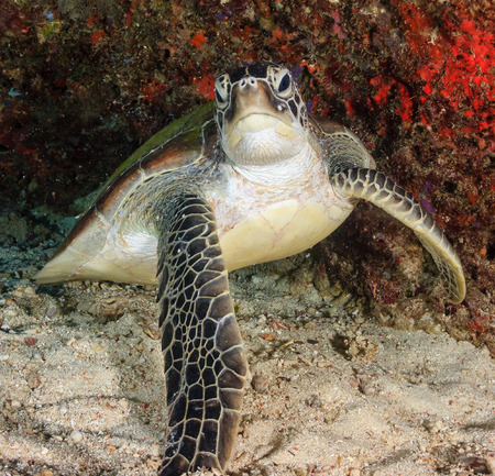 chelonia: Angry looking Green Turtle in an underwater cave Stock Photo