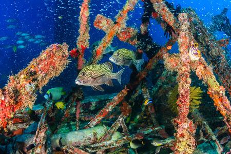 sweetlips: Sweetlips and other tropical fish school around manmade wreckage Stock Photo