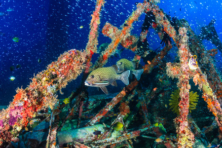 wrasse: Sweetlips and thousands of small glassfish around a coral covered underwater structure