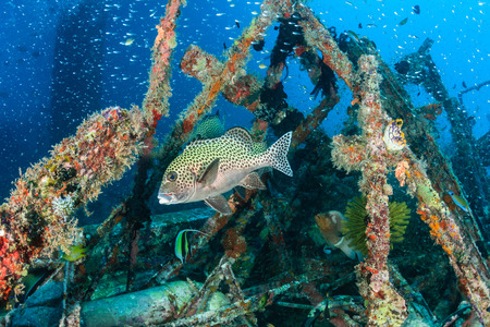 indo pacific: Hundreds of tropical fish around an underwater wreck