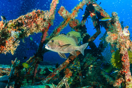indo pacific: Tropical fish and SCUBA divers on an underwater shipwreck Stock Photo