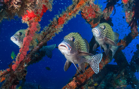 indo pacific: Three colorful Harlequin Sweetlips on a tropical coral reef