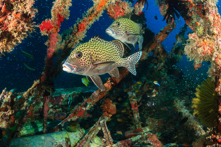 indo pacific: Harlequin Sweetlips being cleaned by Wrasse on an underwater wreck