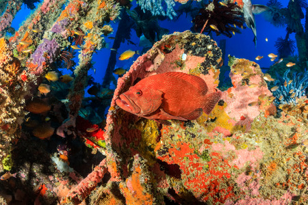 산호에 묻힌 수중 함 난파선에 산호 Grouper