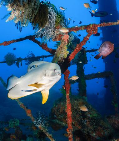 platax: Batfish at a cleaning station on a shipwreck Stock Photo