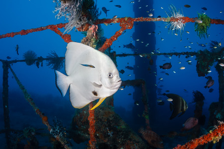 Batfish at a cleaning station on a shipwreck photo