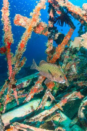 sweetlips: Harlequin Sweetlips on an underwater wreck