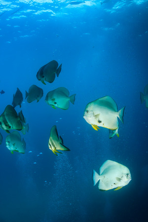 platax: Shoal of Spadefish underwater