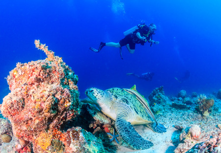 interraction: Green Turtle with SCUBA divers in the background