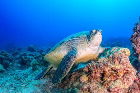 interraction: Green Turtle on a coral reef on a dark afternoon