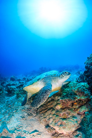 interraction: Green Turtle on a coral reef with a sunburst behind Stock Photo