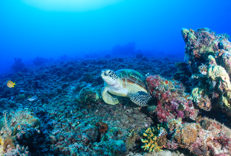 interraction: Environmental Damage - a Green Turtle rests on a barren, destroyed coral reef