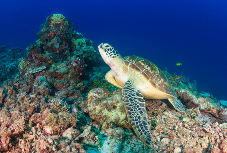 interraction: Green Turtle perches on a piece of coral