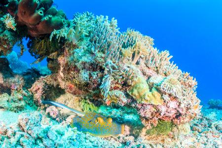 taeniura: Blue Spotted Stingray su una barriera corallina tropicale