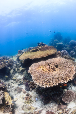 Table corals on a shallow, bright, tropical coral reef