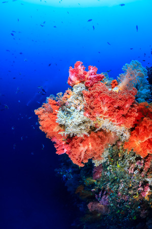 seafan: Colorful pink and orange soft corals on a deep coral reef wall Stock Photo