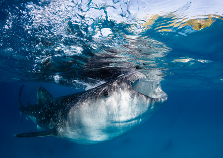 A large Whale Shark feeds near the surface in the Philippines photo