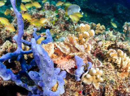 peces de acuario: Un cabracho bien escondido en un arrecife de coral tropical