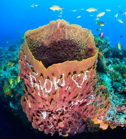 anthias fish: Tropical fish swarm around a large barrel sponge on a coral reef