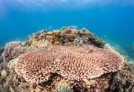 Table corals and small reef fish on a tropical reef