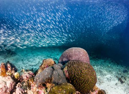 sardinas: Una escuela de sardinas nadando en un arrecife de coral tropical