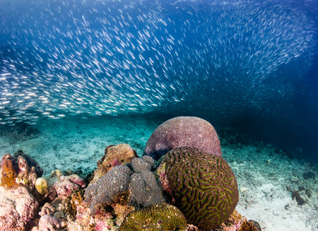 A school of Sardines swims over a tropical coral reef