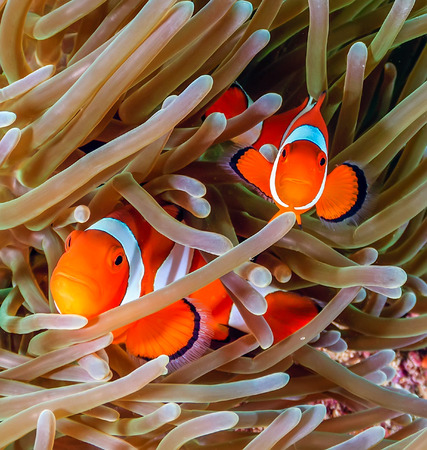clown fish: Pair of Clownfish in their host anemone