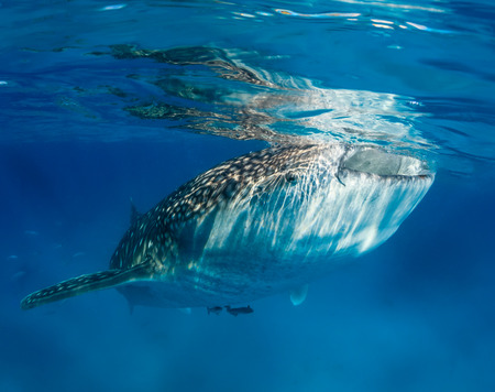 Whale shark with attached Remora feeding at the surface Banque d'images