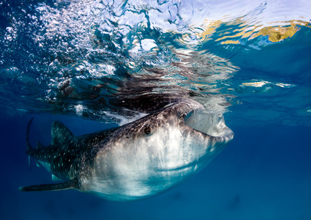 Large whale shark feeding on tiny fish near the surface of the ocean photo