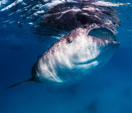 sea creature: Large whale shark feeding on tiny fish near the surface of the ocean