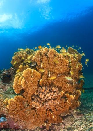 anthias: Anthias swim around a hard coral on a tropical reef Stock Photo