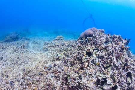 lifeless: Dead coral reef - global warming,crown of thorns starfish, dynamite fishing and other practices are destroying the worlds