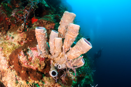 Tube sponge on a tropical coral reef wall