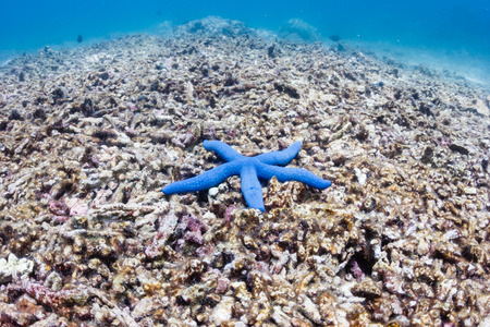 bleached: A single blue starfish on a dead coral reef   This reef was destroyed by a strong typhoon several years ago and has not regrown