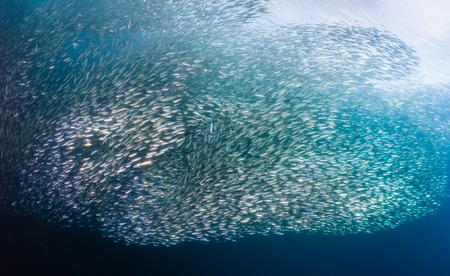 Thousands of Sardines form a bait ball photo