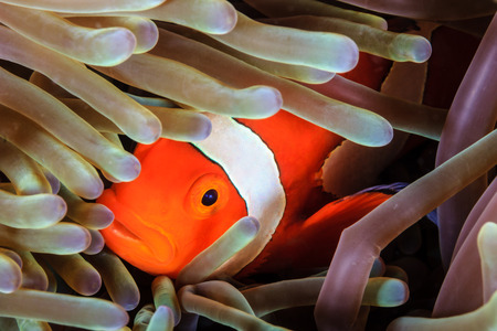 clown fish: Western Pacific Clownfish hiding in the tentacles of its host anemone