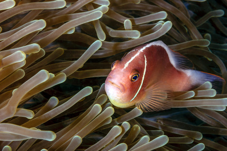 pink anemonefish: Skunk clownfisn in an anemone on a tropical coral reef