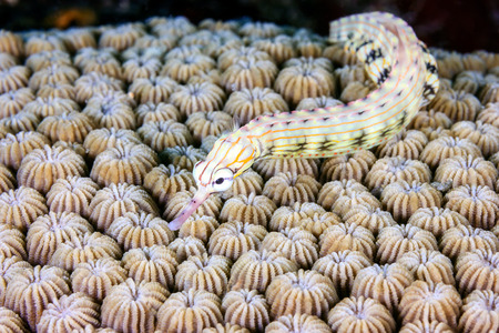 mabul: A tiny Pipefish swims over a hard coral on a tropical reef