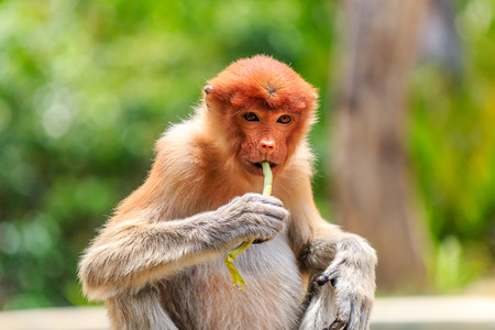 mangrove forest: A Female Proboscis Monkey feeding on leaves in the mangrove forest of Borneo