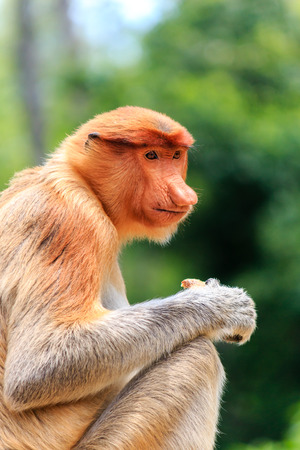 Side profile of a lone female Proboscis Monkey feeding photo