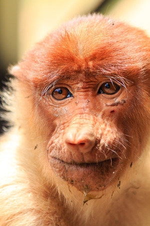 proboscis: Muddy Proboscis Monkey in Borneo