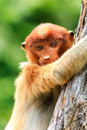 proboscis: A Baby Proboscis Monkey clings to a tree