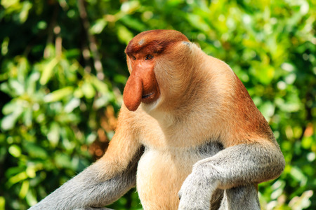 sandakan: A large male Proboscis Monkey in the jungles of Borneo
