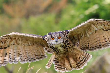 Eagle owl flies low over a field